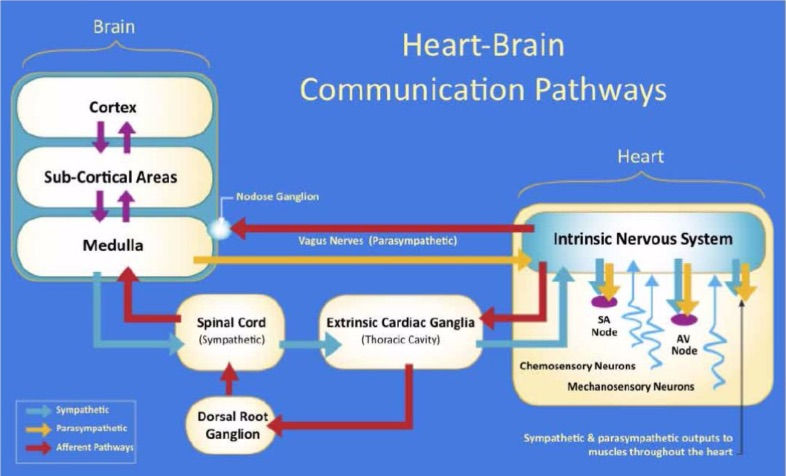 Herz Gehirn Kommunikation (Quelle: Dominique Surel Edgescience #6 2011)